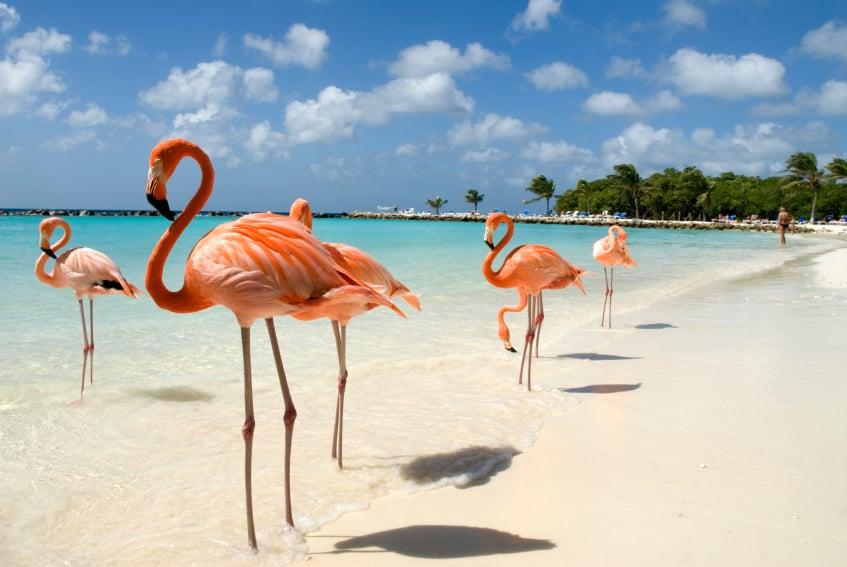 Flamencos en Flamingo Beach de Aruba