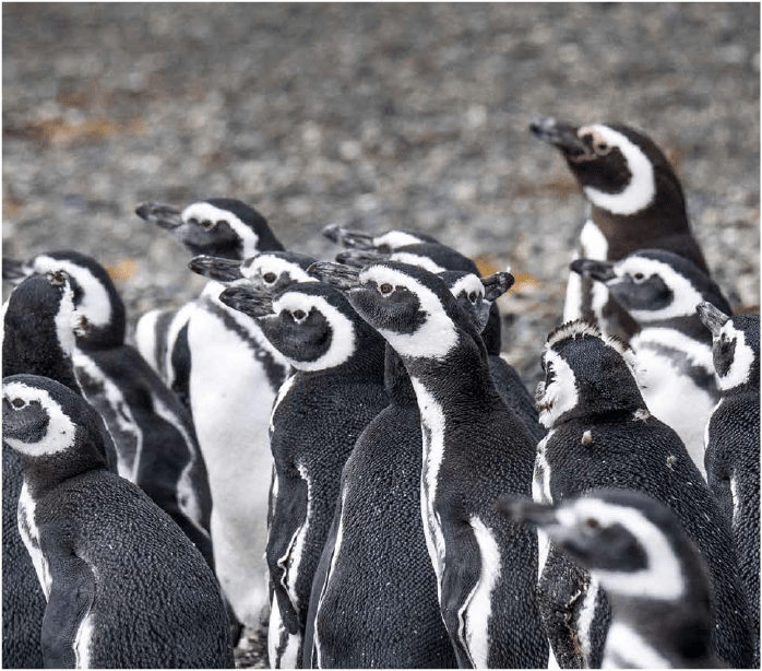 Pinguinos de Magallanes