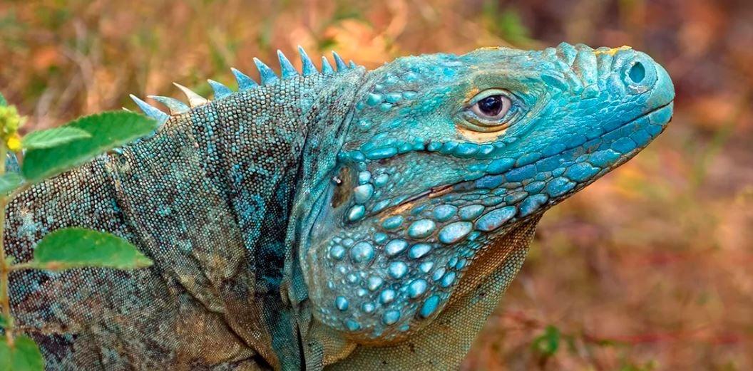 Lagarto de color azul en Islas Caimán
