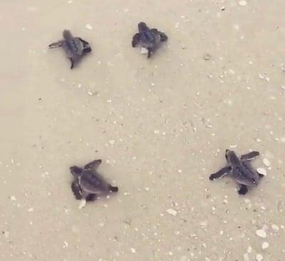 Cuatro pequeñas tortugas en la arena en Islas Caimán
