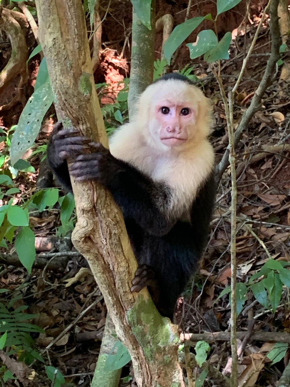 Mono capuchino en Parque Nacional Manuel Antonio