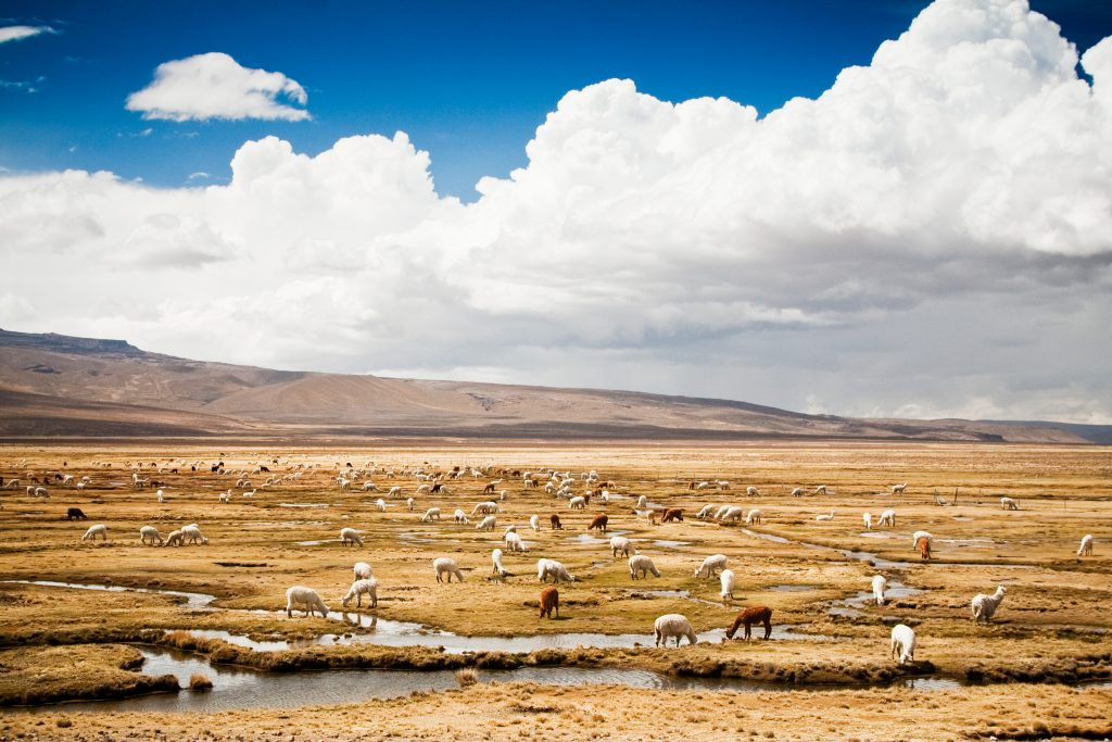 Manada de alpacas