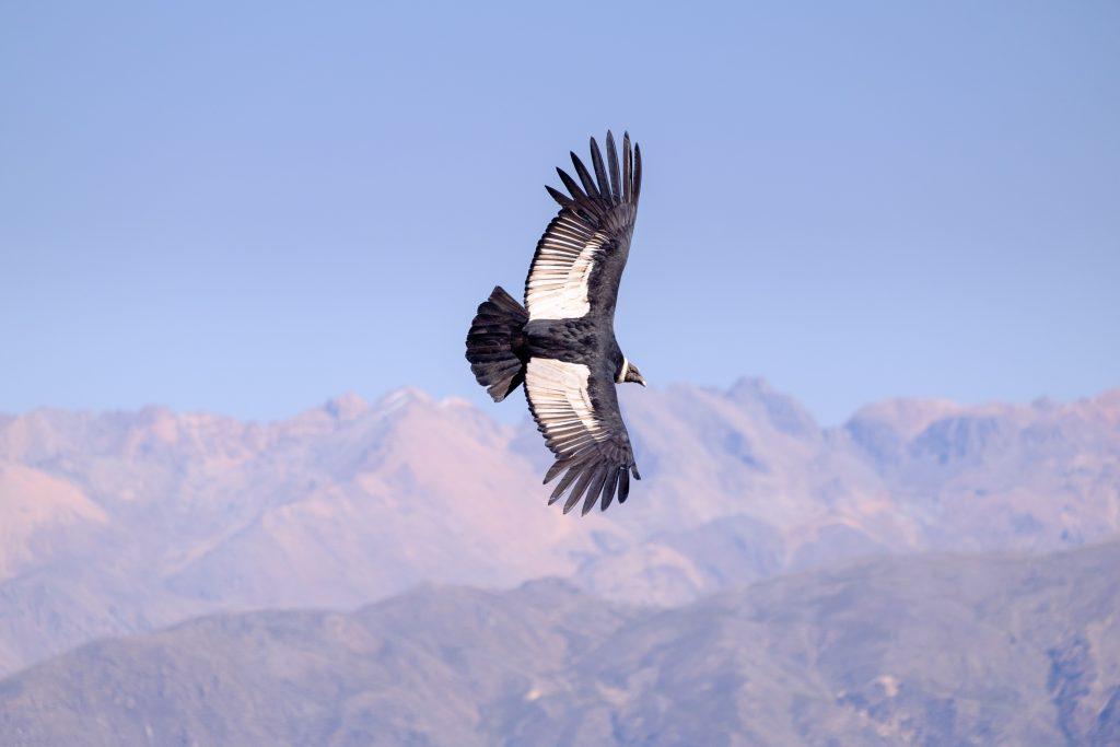 Condor volando en el Canon del Colca
